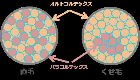 オルトコルテックスとパラコルテックス