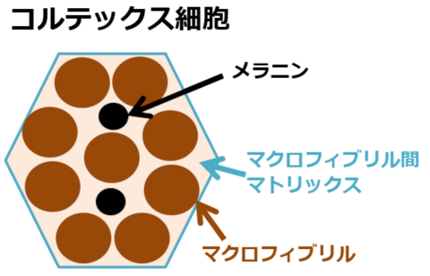コルテックス細胞